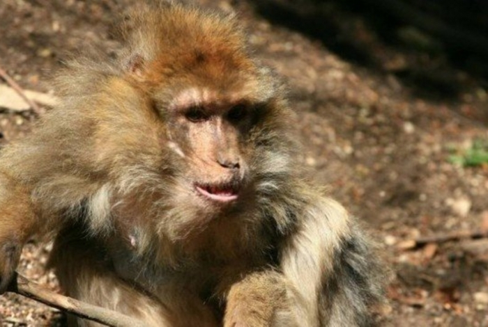 1 macaco 14139146 - Macaco mata bebê de quatro meses com pedrada