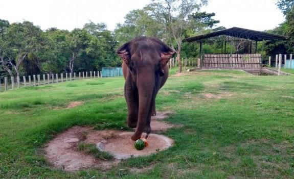 42eea249 dc4f 4c57 81af 939502ba1318 300x183 - Após seis anos em João Pessoa elefanta Lady deve ser transferida para o Mato Grosso na próxima segunda-feira