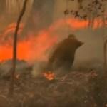 COALA INCENDIO FLORESTA - Coala é resgatado aos prantos durante incêndio na floresta - VEJA VÍDEO