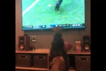 Cães enlouquecem ao ver gato invadindo campo de futebol – VEJA VÍDEO