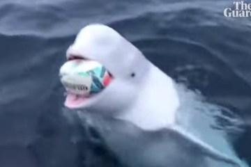 Baleia beluga joga rugby no mar com marinheiros – VEJA VÍDEO