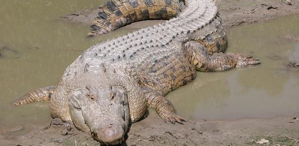 crocodilo - Menina salva amiga de ataque de crocodilo enquanto nadava
