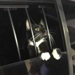 gato e1574006023327 - Invadiu uma casa: Polícia prende gato por suspeita de furto