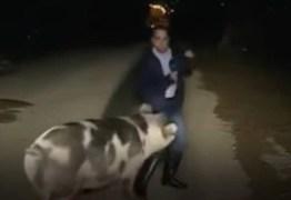 Porco fugitivo persegue e morde repórter em transmissão ao vivo para TV; VEJA VÍDEO