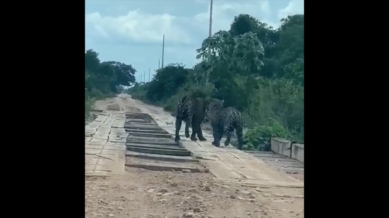 8142716 x720 - Casal de onças-pintadas é flagrado por grupo de amigos em estrada -VEJA VÍDEO
