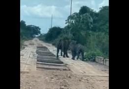 Casal de onças-pintadas é flagrado por grupo de amigos em estrada -VEJA VÍDEO