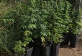 Polícia Civil encontra plantação de maconha dentro de casa, em Jaguaribe