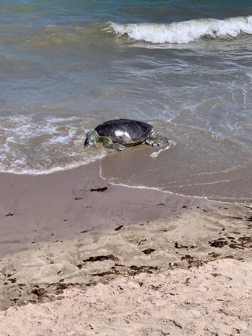 tartaruga - Tartaruga marinha é encontrada morta em praia da grande João Pessoa e preocupa ambientalistas