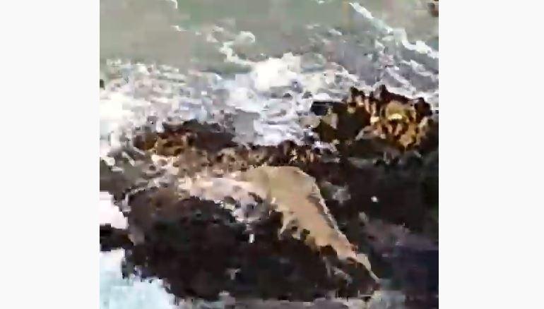 tubarão - Tubarão sobe em pedras para pegar sardinhas em Fernando de Noronha - VEJA VÍDEO