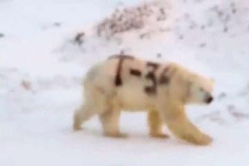 unnamed file - Mensagem misteriosa pintada em urso polar na Rússia alarma pesquisadores - VEJA VÍDEO