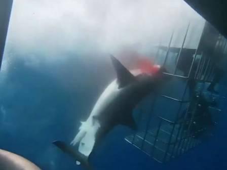 xblog shark 2.jpg.pagespeed.ic .ieqSF5QtUH - Tubarão-branco morre ao ficar preso em gaiola de segurança - VEJA VÍDEO