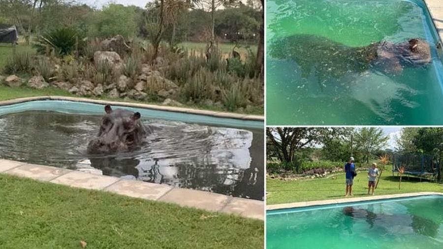 """hipopotamo foi encontrado se refrescando na piscina residencial do proprietario do letakasafaris 1578144431873 v2 900x506 - Hipopótamo de 3 toneladas """"invade"""" piscina residencial em Botsuana"""