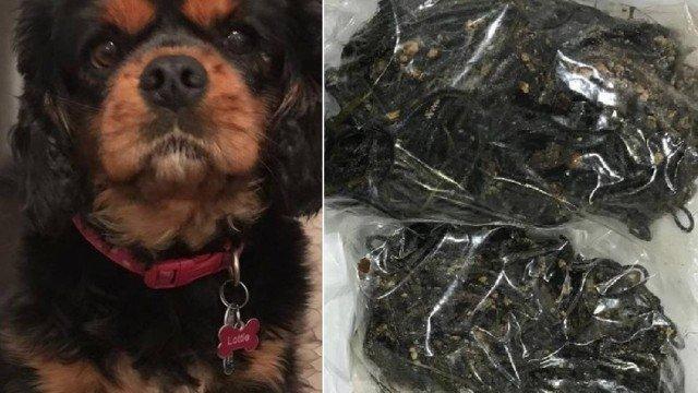 xblog dog.jpg.pagespeed.ic .Dxf NJA 8L - Cadela é operada por temor de câncer, mas veterinário retira 300 elásticos para cabelo