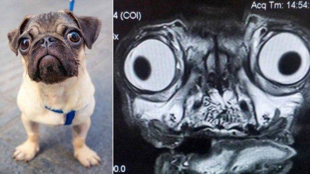 xblog pug mri.jpg.pagespeed.ic .ZkRP2W2iMo - Ressonância magnética de pug viraliza nas redes sociais