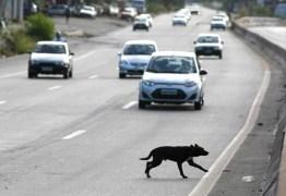 ATÉ UM ANO DE PRISÃO: Atropelar cachorros pode dar multa e cadeia – ENTENDA