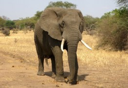 Idoso perde duas pernas após ser atacado por elefante; VEJA VÍDEO