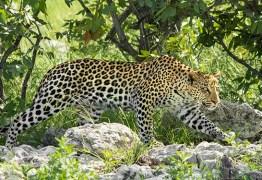 Mulher é eletrocutada enquanto foge de leopardo na Índia: VEJA VÍDEO