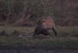 FLAGRA: onça-pintada caça uma anaconda gigante de 6 metros