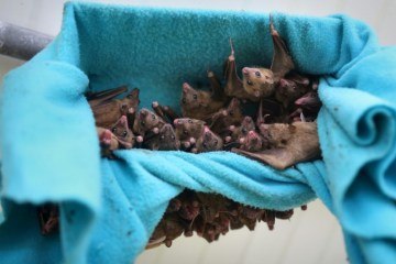 cdd815fe4ac683caaa93e5b2ed6d8f7a3f41056b - Moradores no Peru estão matando morcegos por medo do coronavírus - VEJA VÍDEO