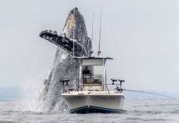 IMAGENS IMPRESSIONANTES: Baleia jubarte salta ao lado de barco de pescador