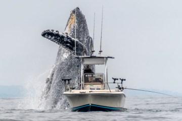 video baleia gigante saltando barco pescador 4 - IMAGENS IMPRESSIONANTES: Baleia jubarte salta ao lado de barco de pescador