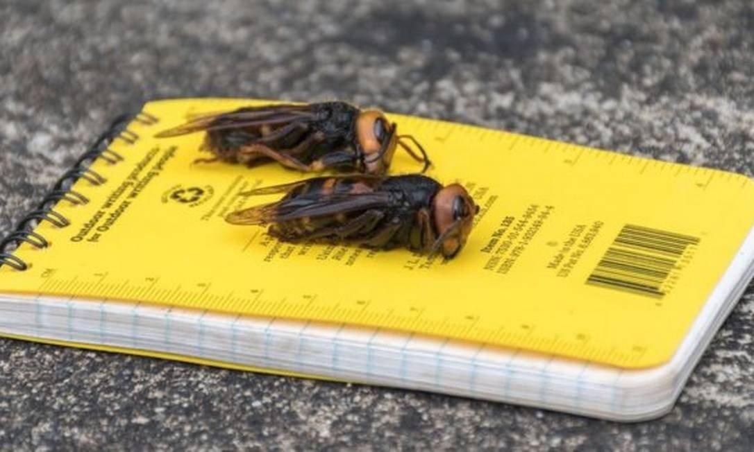 xVespas.jpg.pagespeed.ic .eWawLYslH4 - Aparecimento de vespas asiáticas alertam EUA para surgimento de praga que afetará fauna da América do Norte
