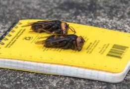 Aparecimento de vespas asiáticas alertam EUA para surgimento de praga que afetará fauna da América do Norte