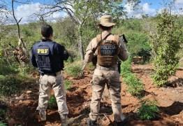 Operações com participação da polícia paraibana destroem 146 mil pés de maconha no sertão de Pernambuco