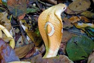 1 cobra naja kaouthia conhecida como naja de monoculos 09072020135453883 0 18223466 300x201 - Sem soro no Brasil, serpente apreendida no Distrito Federal pode ser sacrificada