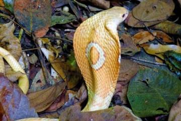 1 cobra naja kaouthia conhecida como naja de monoculos 09072020135453883 0 18223466 - Sem soro no Brasil, serpente apreendida no Distrito Federal pode ser sacrificada