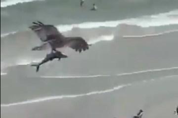 aguia - Vídeo mostra águia sobrevoando praia com tubarão em suas garras e intriga internautas