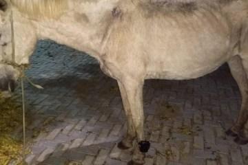 PRISÃO ANIMAL: Cavalo é encontrado usando tornozeleira eletrônica