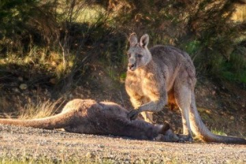 Canguru emociona a web ao 'velar' corpo da companheira e de filhote