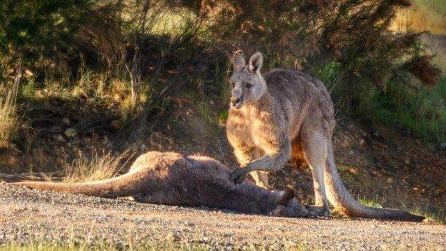 xblog kangaroo.jpg.pagespeed.ic .G8xu8EQnzJ - Canguru emociona a web ao 'velar' corpo da companheira e de filhote