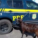 711c6f0f a85f 42e8 963f fbc8c95b6881 - Casal é preso ao tentar fugir com cabra roubada em moto