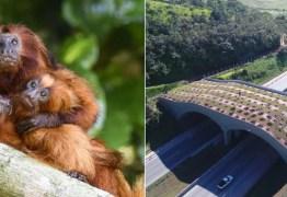 Mico-leão-dourado ganha 1º viaduto vegetado do Brasil; veja