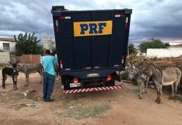 PRF na Paraíba realiza a Operação 'Pista não é Pasto'