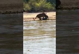 Pescador flagra momento em que onça ataca jacaré no Pantanal