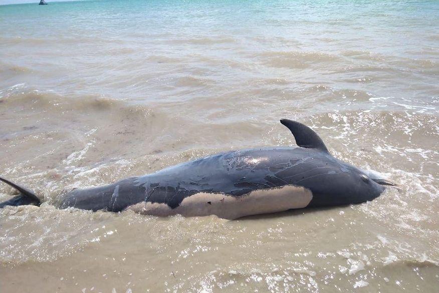 golfinho - Golfinho morre após ficar encalhado em praia de Cabedelo