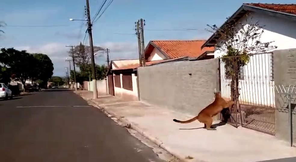 onca - ANIMAL SILVESTRE: Onça é flagrada 'passeando' livremente pelas ruas