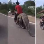 xblog croc.jpg.pagespeed.ic .1T4ToNZILA - Traficante de animais selvagens leva crocodilo de 2,5 metros em moto; VEJA VÍDEO