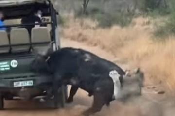 epahqw0ukbkg1oqvt62uq7e7y - Búfalo colide com carro enquanto foge de leão; assista