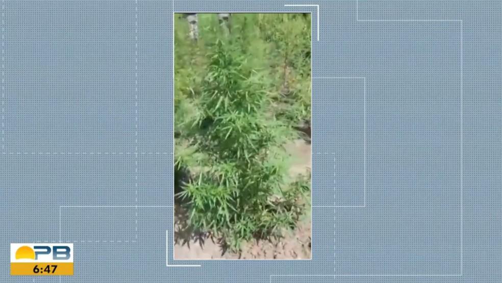 capture 20201109 111832 - Plantação de maconha é encontrada em Santa Rita, na Grande João Pessoa