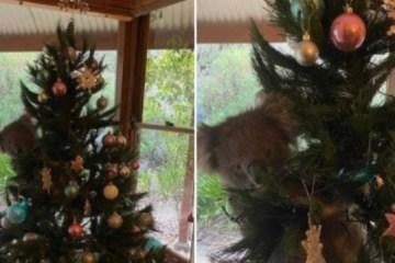 Família encontra coala agarrada a árvore de Natal dentro de casa – VEJA VÍDEO
