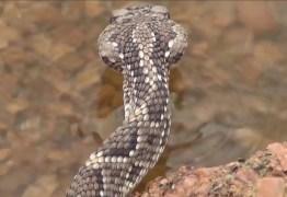 NA PARAÍBA: Criança de 5 anos é internada em UTI de CG após picada por cobra cascavel
