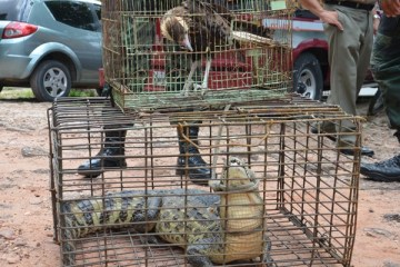 jacara - Mais de 20 animais silvestres são resgatados na Paraíba no fim de semana