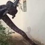 serpente - SUSTO: serpente de 2,5 metros é encontrada em telhado de casa