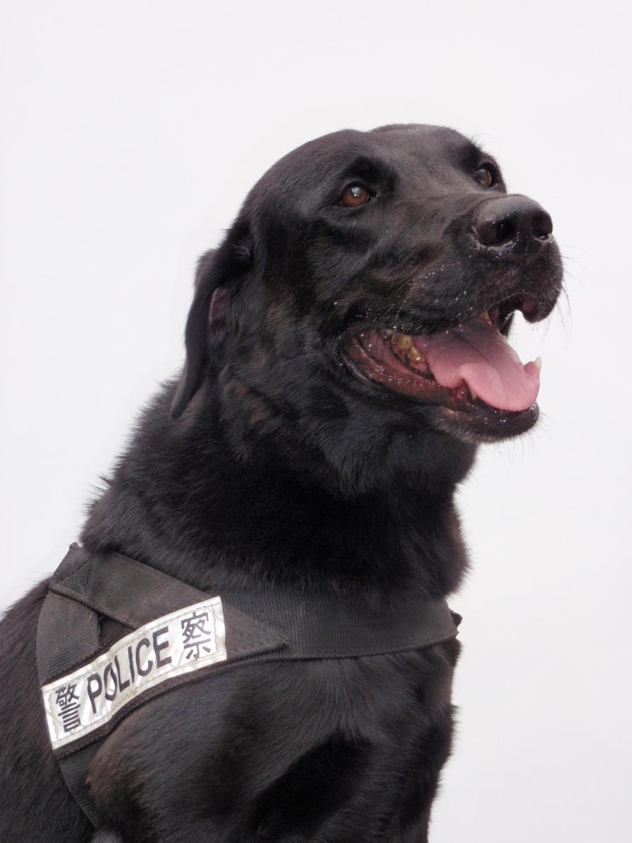 [正義拎]唔好再叫警察做警犬 - 香港高登討論區