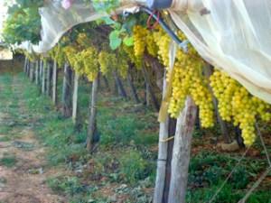 Puglia - Uva da tavola