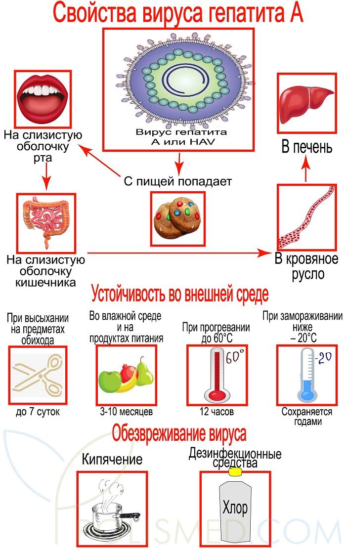Virusominaisuudet Hepatiitti A